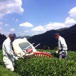 新茶の摘み採り風景