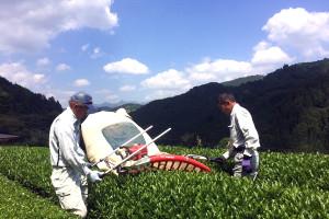 雪ふる山のおそぶき茶 摘み採り風景