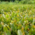 花粉症のお茶【べにふうき緑茶】