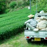 新茶の収穫までもうすぐです!