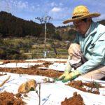 和紅茶用の新しい茶苗を植えました。