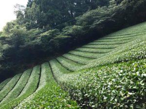 無農薬栽培 八女茶