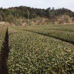 千代乃園の茶畑